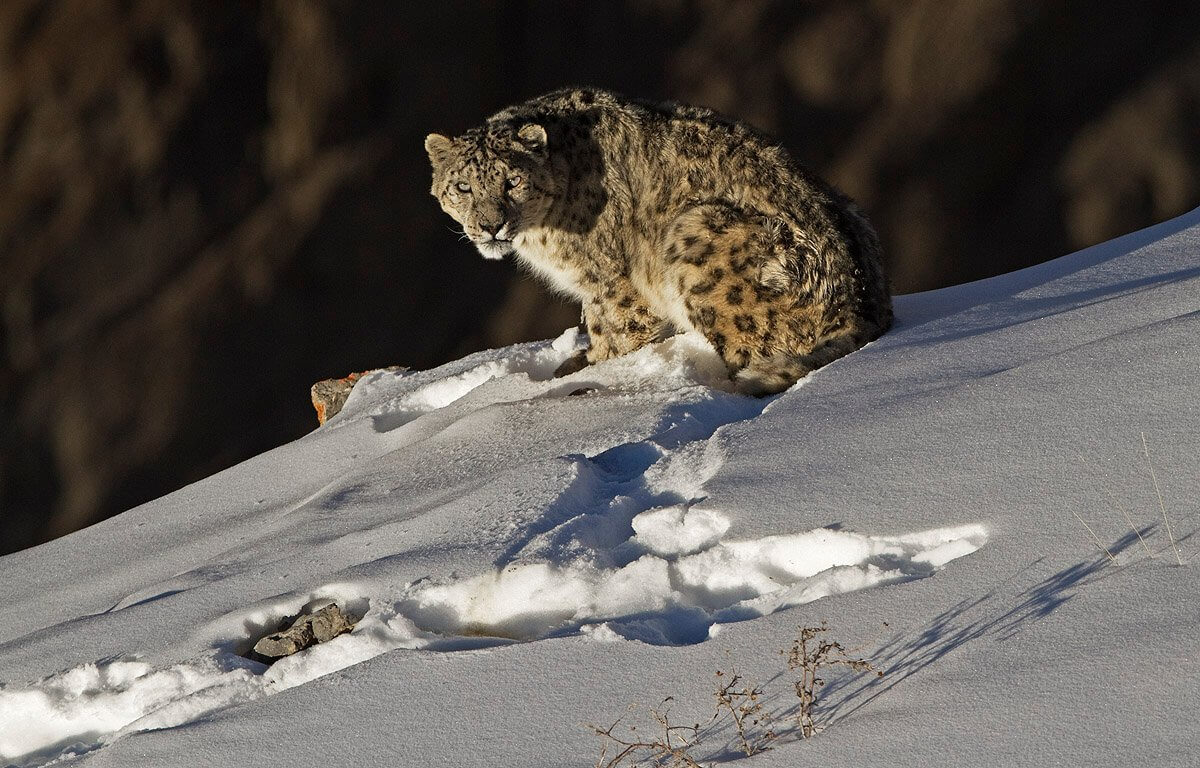 snow-leopard spiti valley